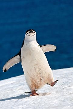 Name:  rex_chinstrap_penguin_antarctica_ll_120227_vblog-1_zpsc66d2312.jpg Views: 584 Size:  53.6 KB